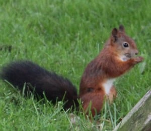 Red squirrel in garden